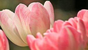 kwiaty- różowe tulipany