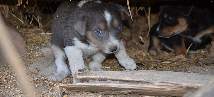 Poszukujemy chętnych do adopcji Suczki i 5 szczeniaków