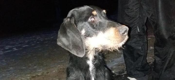 Znaleziono zbłąkanego psa -  Pies Wola Trzydnicka
