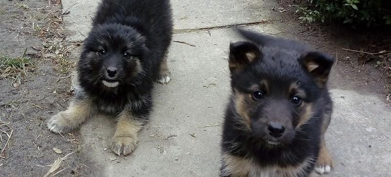 Poszukujemy domu dla dwumiesięcznych szczeniaków