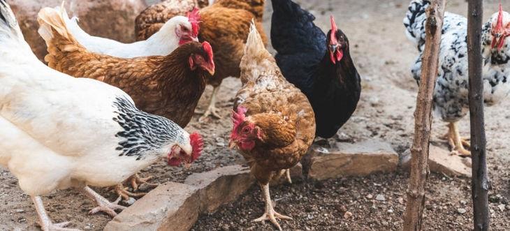 Komunikat w związku z ryzykiem wystąpienia wysoce zjadliwej grypy ptaków (HPAI)