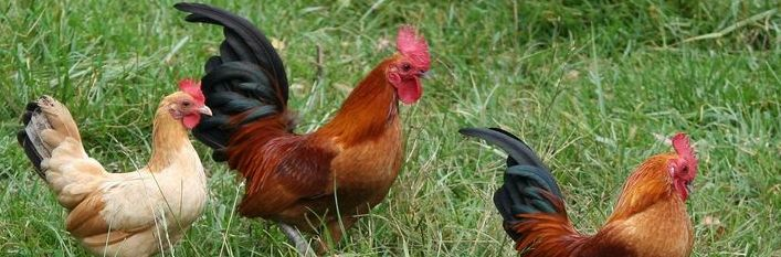 O grypie ptaków
