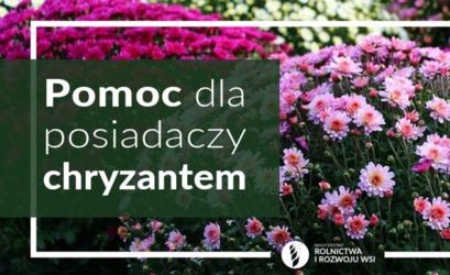 Pomoc dla posiadaczy chryzantem w tle zdjęcie kwiatków