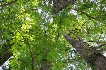 Wskaż drzewo na pomnik przyrody